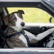 Животные в автомобиле: 11 советов по перевозке