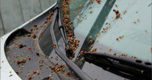 Как оттереть пятна от тополиных почек с автомобиля